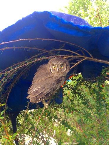 Baby owl hiding below Artem's jacket