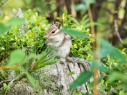 Burunduk (I believe it's chipmunk in english)