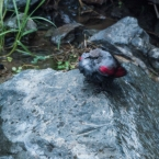 Yolin Am - red bird