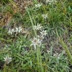 Gorkh-Terelj National Park - edelweisses