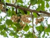 Yangdong village - gingko berries