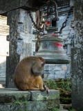 monkeys at the Pashupatinath Temple