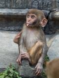 monkeys at the Pashupatinath Temple