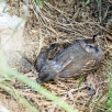 Canadian Quail with young chicks
