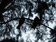 Raikura trail day 3 wild pigeons