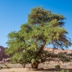 a (400 years old) tree in the desert