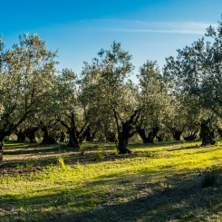 olive trees in the countryside around Caldes de Montbui